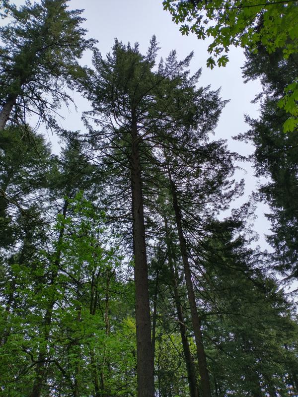 Tree_tops